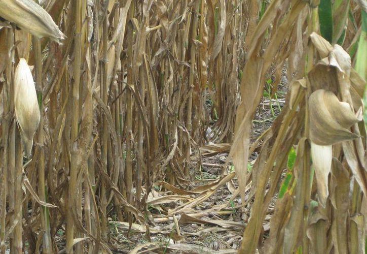 La intensa sequía afectó alrededor de 600 hectáreas de cultivos de maíz. (Javier Ortiz/SIPSE)