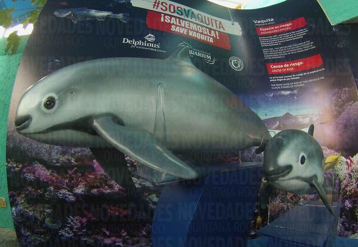 Fue presentado un programa de rescate de la vaquita marina. (Luis Soto/SIPSE)