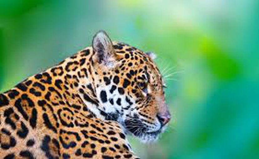La Alianza Nacional para la Conservación del Jaguar alertó a la FONATUR que dos mil jaguares que habitan en la Península de Yucatán. (Salvemos un amigo)