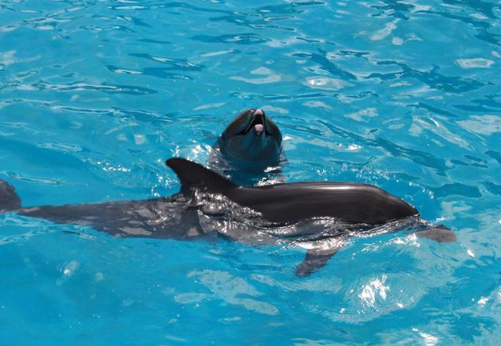 En los delfinarios la experiencia inicia desde que se elige el tipo de nado con los cetáceos, para los cuales se destinan al menos una hora de interacción. (Luis Soto/SIPSE)