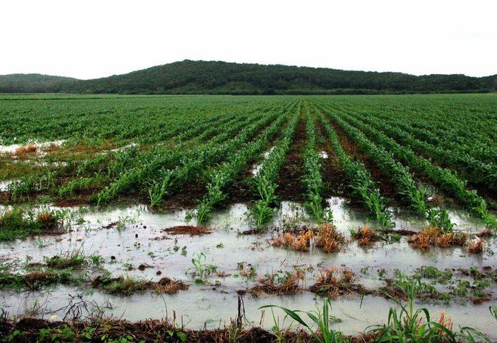 El campo yucateco fue de los sectores más beneficiados con las lluvias oportunas. (SIPSE)