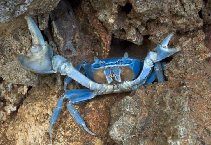El cangrejo azul se prepara para abandonar los agujeros en donde viven y dirigirse al mar para empezar la etapa de desove. (Foto de Contexto/Internet)