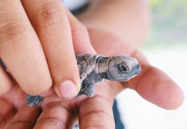 Según Pronatura, son escasos los cursos que abordan de forma conjunta aspectos biológicos, ecológicos y veterinarios sobre tortugas marinas. (SIPSE)