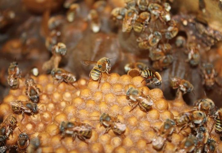 """El criadero """"Las Reinas Mayas"""" estima producir unas 5 mil abejas reinas al año. (Edgardo Rodríguez/SIPSE)"""