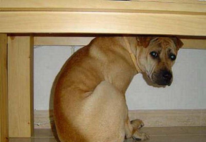 Hay que permitir al animal que se esconda debajo de algún mueble o lugar donde se sienta seguro para evitar un sufrimiento aún mayor debido a la pirotecnia. (Milenio Novedades)