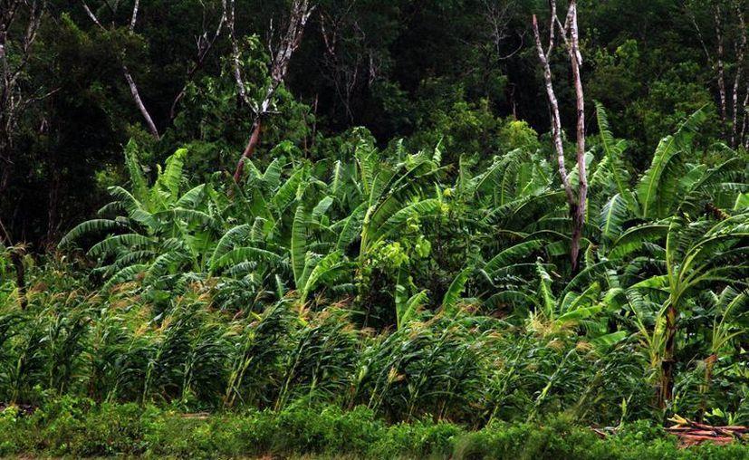 Los cultivos de maíz son los que resultan más afectados cuando llega un huracán. (Milenio Novedades)