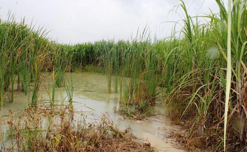 La gran cantidad de agua genera que los huevecillos no puedan madurar y mueran. (Edgardo Rodríguez/SIPSE)