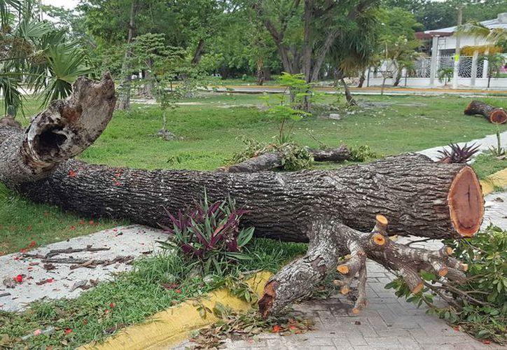 Quedó tirado el árbol en el parque del fraccionamiento Barrio Maya. (Jesús Tijerina/SIPSE)