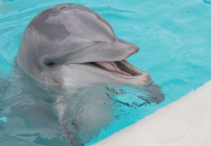 En 2013, otro delfín que quedó varado en las playas de Cancún fue liberado. (Tomás Álvarez/SIPSE)