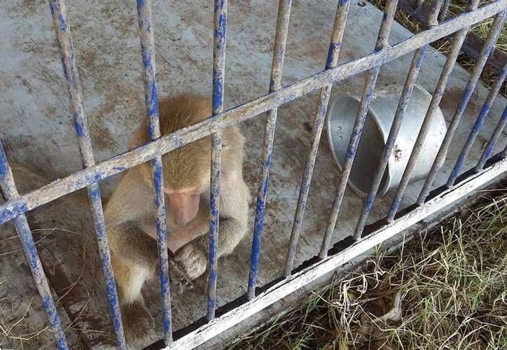 Entre los animales que la Profepa le decomisó al 'American Circus', en Mérida, hay una cría de papión sagrado. (Cortesía)