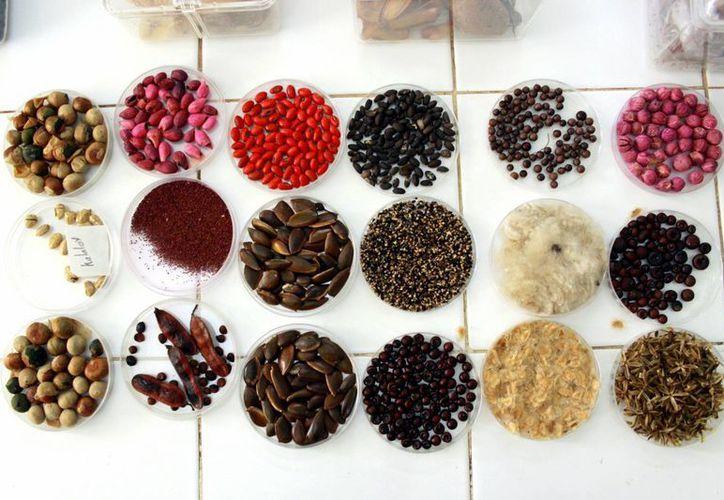 El Banco de Germoplasma del CICY resguarda diferentes especies vegetales. ((Milenio Novedades)