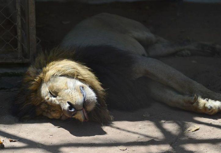 Entre los animales decomisados al circo se encontraba un león, al que le arrancaron las garras y los colmillos. (Milenio Novedades)