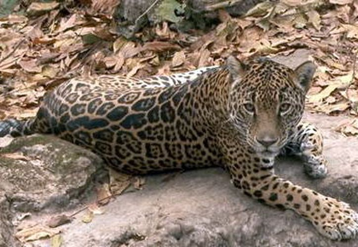 Existen más de 4 mil ejemplares en vida silvestre. (Foto: Milenio Novedades)