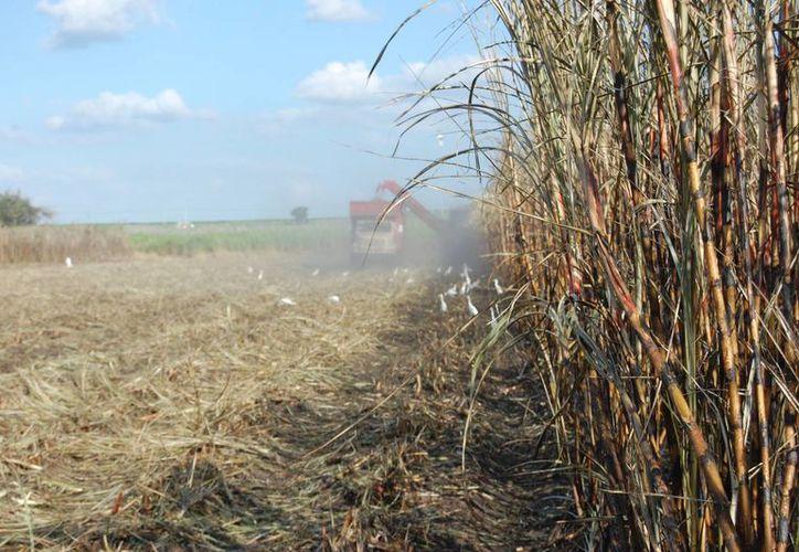 Productores esperan que las condiciones climatológicas prevalezcan a favor de los cultivos. (Archivo/SIPSE)