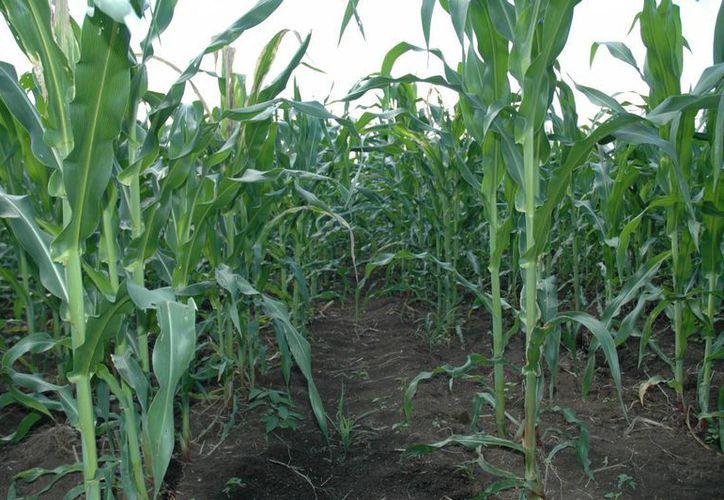 La superficie de siembra de Quintana Roo es de 76 mil hectáreas de maíz de autoconsumo. (Edgardo Rodríguez/SIPSE)