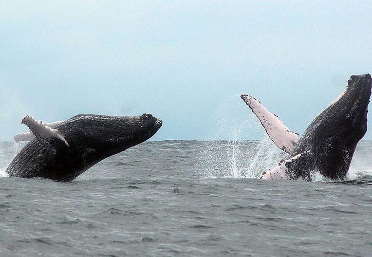 Se estima que unas dos mil ballenas jorobadas se instalarán o trasladarán por la costa ecuatoriana. (Archivo/EFE)