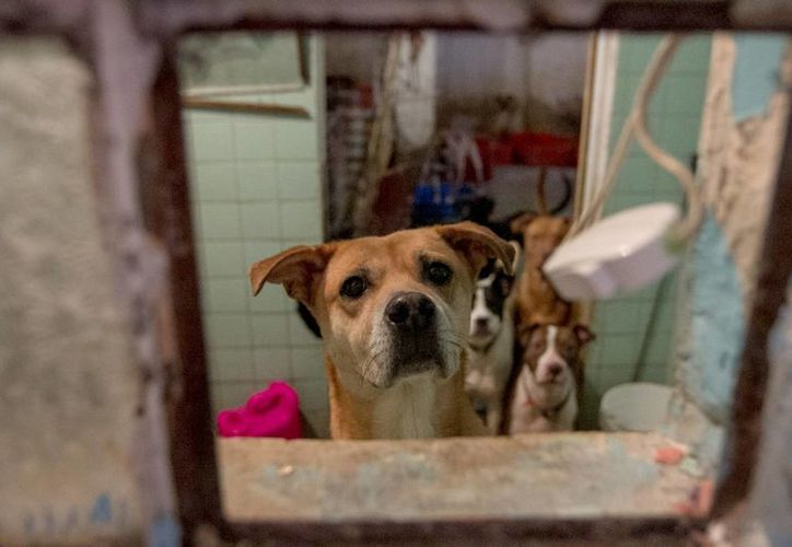 La Ley General del Equilibrio Ecológico y la Protección al Ambiente prohíbe la organización, inducción y/o provocación de las peleas de ejemplares caninos. Imagen de contexto. (Notimex)