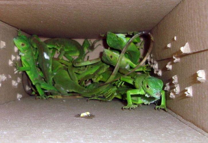 Las iguanas verdes se encuentran entre las especies más adquiridas como mascotas por los yucatecos. (Milenio Novedades)