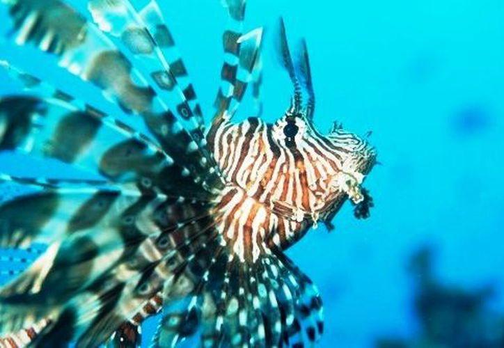 Aunque el pez se ha vuelto una especie cada vez más demandada en restaurantes, afecta a otras especies. (equilibrio.mx)