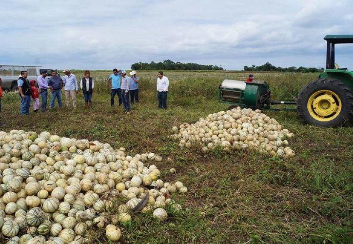 Se entregaron semillas para la producción de mil 111 hectáreas. (Edgardo Rodríguez/ SIPSE)