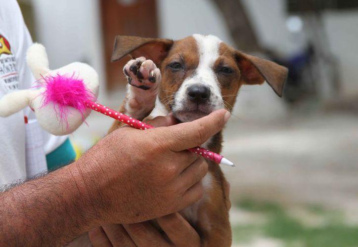 El problema de los animales callejeros es difícil de erradicar debido a la indiferencia y olvido de los dueños. (Foto: Redacción/SIPSE)