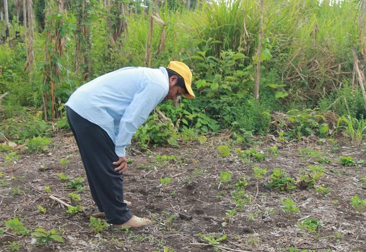 Señalan que las plántulas no desarrollaron por falta de agua, ya que la sequía afectó gran parte del territorio. (Javier Ortiz/SIPSE)